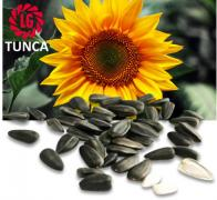 Classic hybrid seeds of sunflower Limagrain